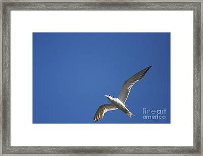 Flying Crested Tern Framed Print by Jorgo Photography - Wall Art Gallery