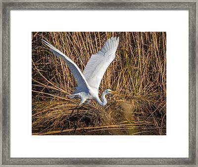 Flying White Egret Framed Print
