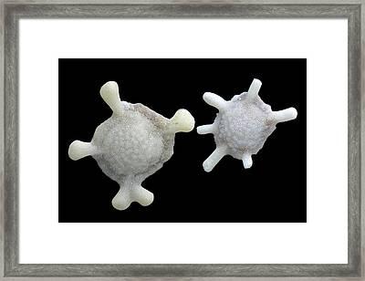 Foraminiferan Framed Print by Frank Fox