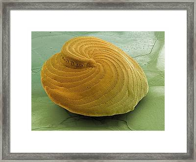 Foraminiferan Shell Framed Print by Ami Images