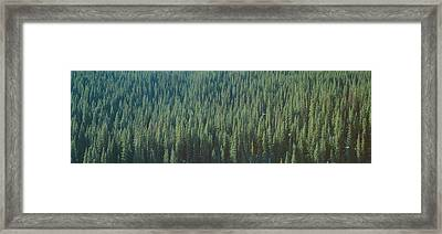 Forest Of Pine Trees, Colorado Framed Print by Panoramic Images
