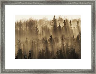 Forest Of Spruce Trees With Mist At Framed Print by Philippe Henry
