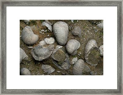 Fossilised Jurassic Oyster Bed Framed Print