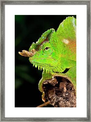Four Horned Chameleon, Trioceros Framed Print by David Northcott