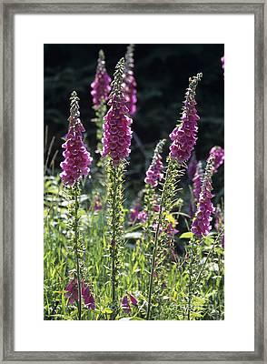 Foxglove Digitalis Pupurea Flowers Framed Print