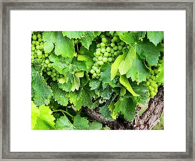 France, Provence, French Vineyard Framed Print