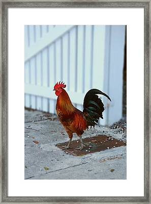 Framed Print featuring the photograph Free Range Cock by R B Harper