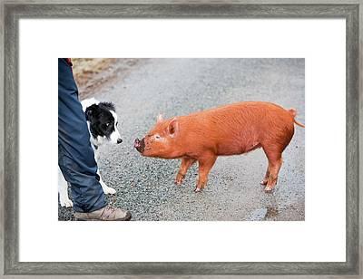 Free Range Pig Framed Print