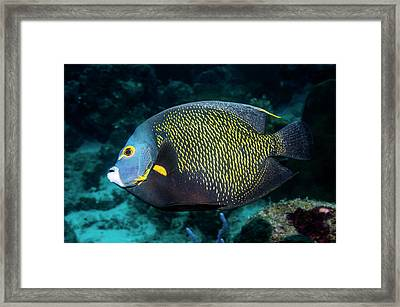 French Angelfish Framed Print by Georgette Douwma