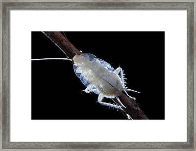 Freshly Moulted Cockroach Framed Print by Melvyn Yeo
