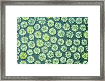 Freshwater Algal Bloom Framed Print