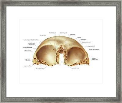 Frontal Bone Framed Print