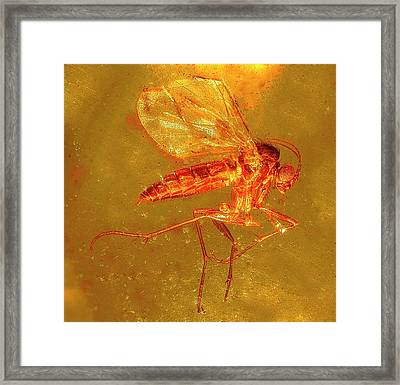 Fungus Gnat In Amber Framed Print by Alfred Pasieka/science Photo Library