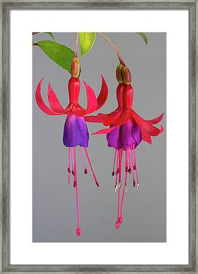 Fused Fuchsia Flower Framed Print by Sheila Terry
