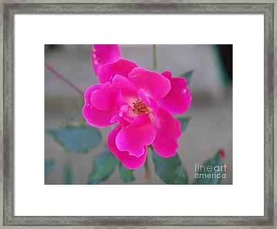 Fushia Knockout Rose 2 Framed Print