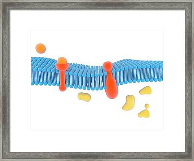 G-protein-linked Receptor Framed Print by Science Photo Library