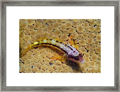 Galapagos Barnacle Blenny On Coral Framed Print by Sami Sarkis