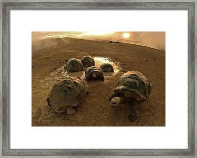 Galapagos Giant Tortoises On Volcano Rim Framed Print by Paul D Stewart