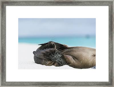 Galapagos Sea Lion Pup Covering Face Framed Print by Tui De Roy