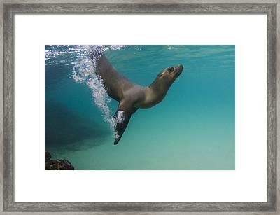 Galapagos Sea Lion Swimming Ecuador Framed Print by Pete Oxford