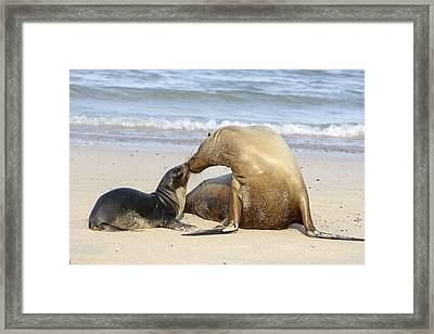 Galapagos Sealions Framed Print by M. Watson