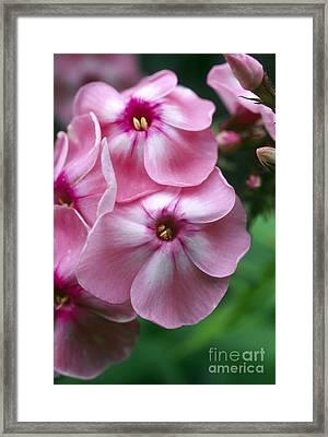 Garden Phlox Flowers Phlox Paniculata Framed Print by Dr Nick Kurzenko