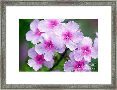 Garden Phlox Phlox Paniculata Framed Print by Maria Mosolova