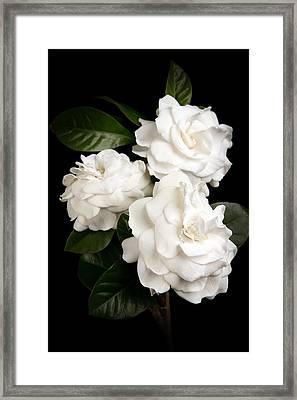 Gardenia Framed Print by Brad Grove