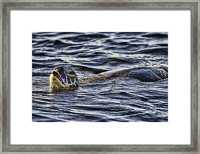 Gasp For Air Framed Print by Douglas Barnard