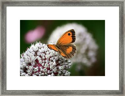 Gate Keeper Pyronia Tithonus Male Framed Print by Kevin F Cook