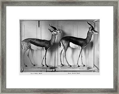 Gazelles In Lower Mammal Gallery Framed Print by Natural History Museum, London