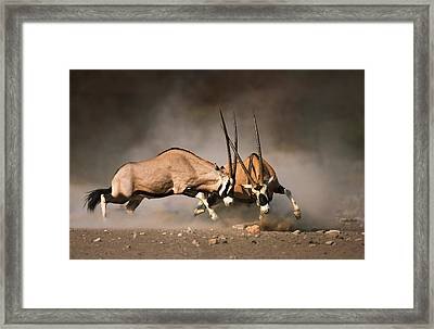 Gemsbok Fight Framed Print