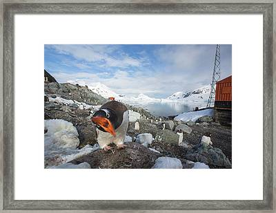 Gentoo Penguins Framed Print by Ashley Cooper