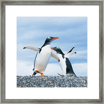 Gentoo Penguins Framed Print by Konstantin Kalishko