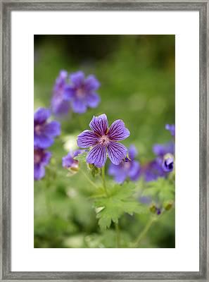 Geranium Himalayense Framed Print by Frank Tschakert