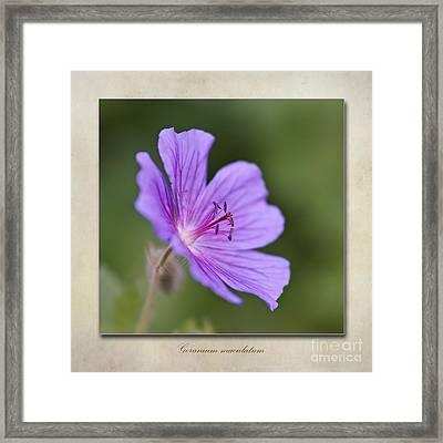 Geranium Maculatum Framed Print by John Edwards