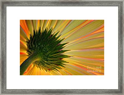 Gerbera Fire Framed Print