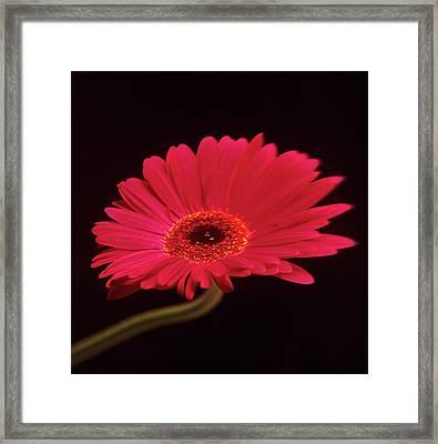 Gerbera Flower Framed Print by Mark Thomas/science Photo Library