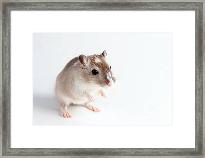 Gerbil Gerbillinae Framed Print by David Kenny