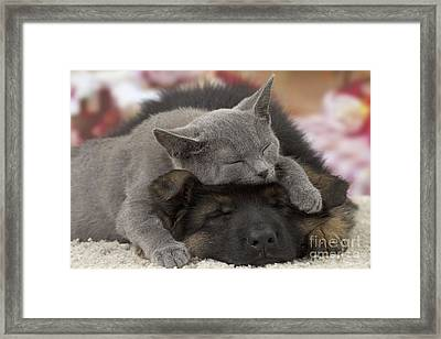 German Shepherd And Chartreux Kitten Framed Print
