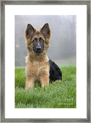 German Shepherd Puppy Framed Print by Johan De Meester