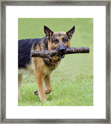 German Shepherds Framed Print by David Lester