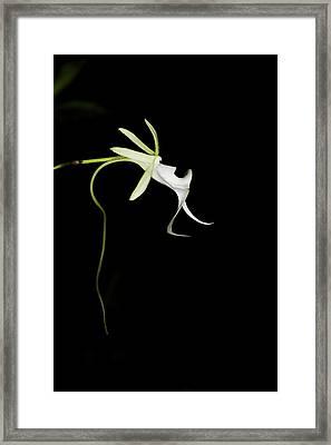 Ghost Orchid In Bloom, Polyrrhiza Framed Print by Maresa Pryor