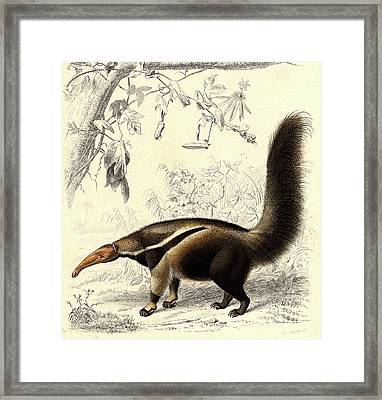 Giant Anteater Framed Print by Collection Abecasis