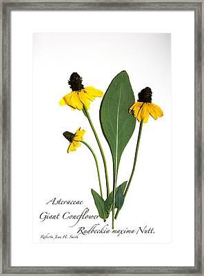 Giant Coneflower Framed Print