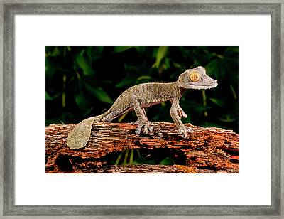 Giant Leaf-tailed Gecko, Uroplatus Framed Print