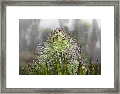 Giant Lobelia (lobelia Wollastonii Framed Print