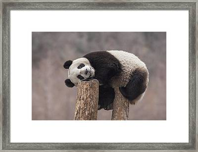 Giant Panda Cub Wolong National Nature Framed Print by Katherine Feng