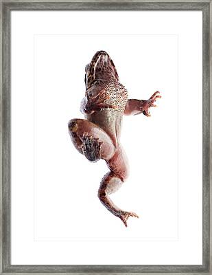Giant Spiny Frog Framed Print by Pan Xunbin