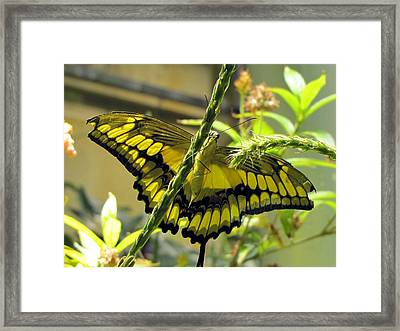 Giant Swallowtail Framed Print by Jennifer Wheatley Wolf